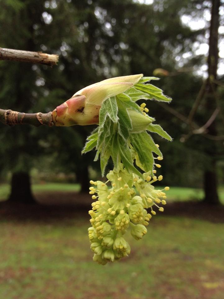 Sugar Maple Tree Flower Buds